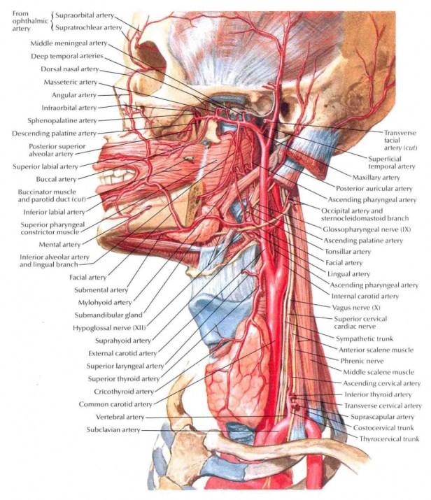 Cartoid artery.jpg
