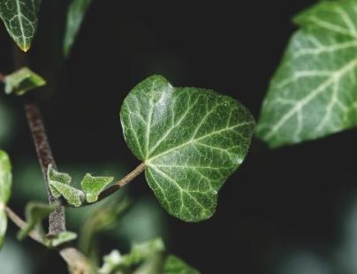 10 Buruieni Otrăvitoare – Pericol, Riscuri, Simptome