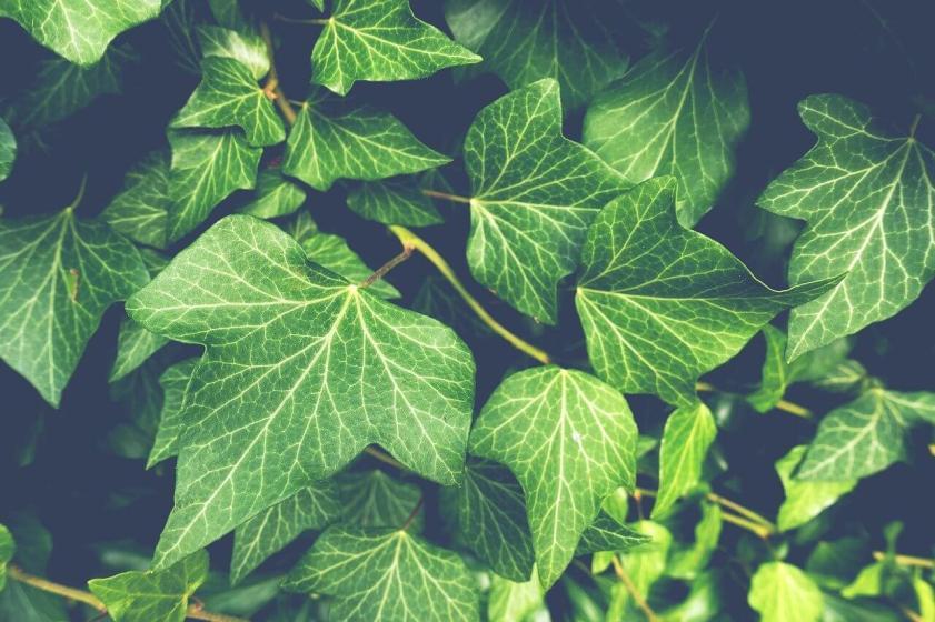 ierburi otrăvitoare poison ivy