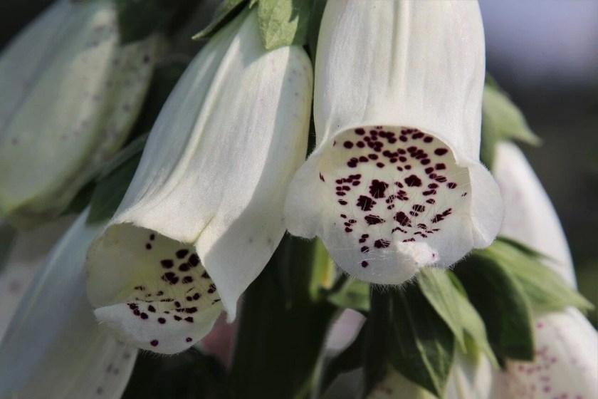 plante otrăvitoare efecte