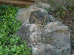 Tiger-on-rock