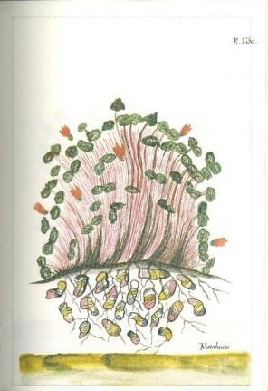 Mashua (tropaeolum tuberosum)