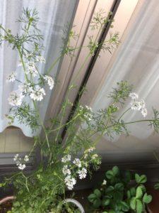 パクチーの花の画像