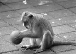 Monkey playing with a ball.