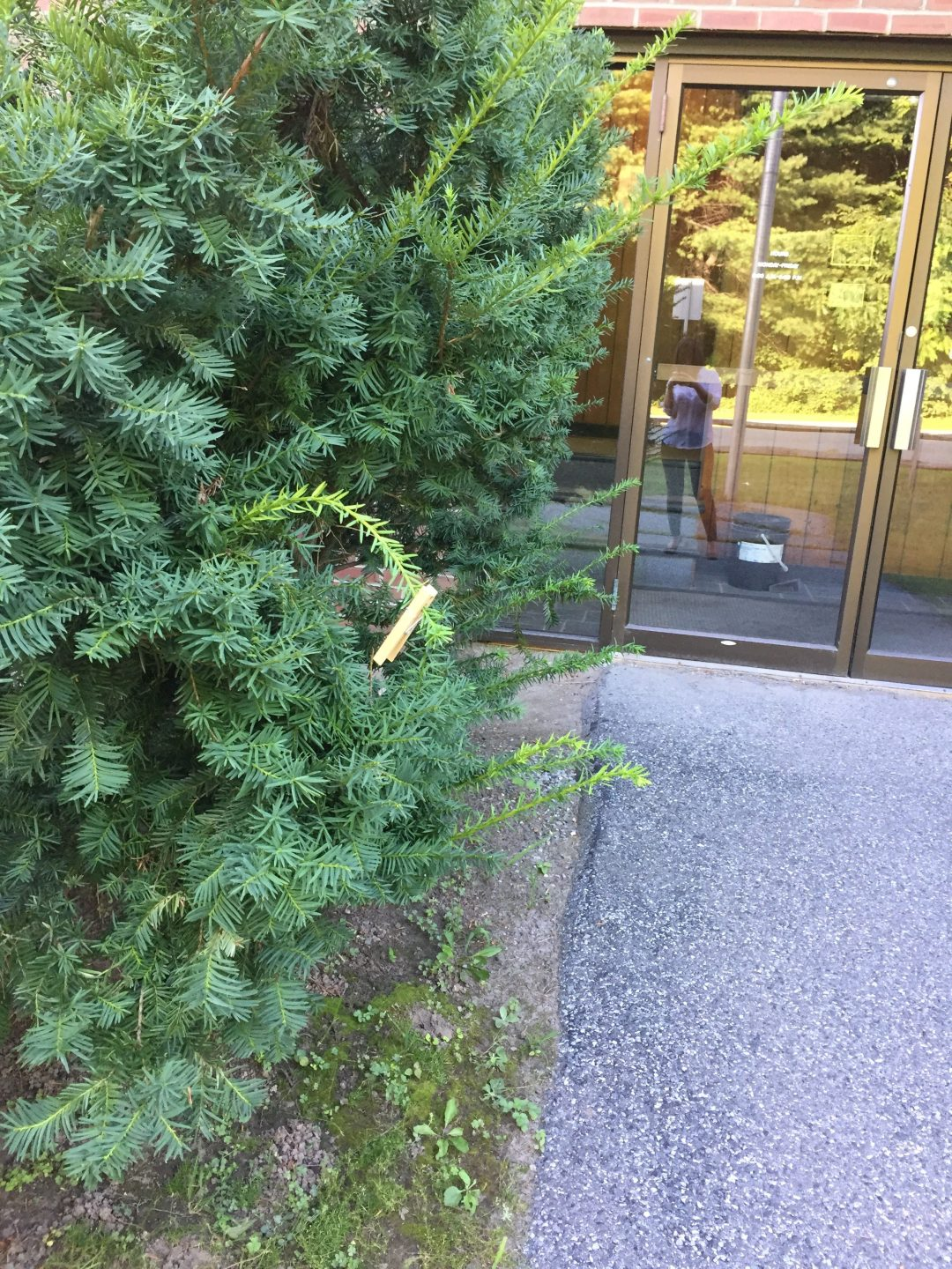 This clothespin has been pinned to this bush outside of the Valley News office for god knows how many days now.