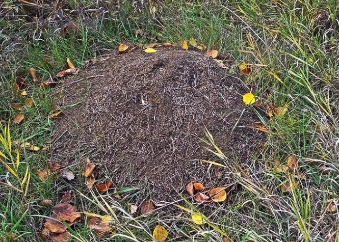 Fire Ant Nest On Log