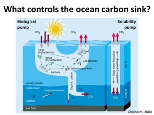What controls the ocean carbon sink