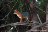 C - Baylands - 09-21-2013 - 039 - Gray fox Creek adult male
