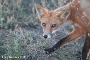 Red Fox eyes locked