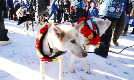 RUNNING OF THE JOHN BEARGREASE SLED DOG MARATHON: A RACE AGAINST THE ODDS
