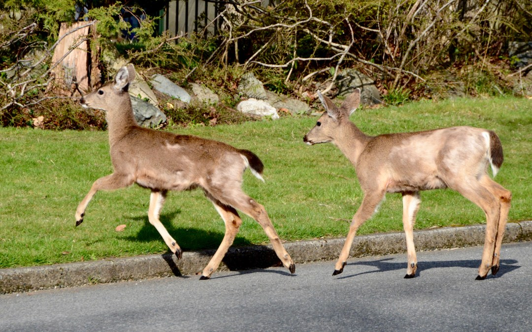 It's all about the bling! Tracking urban deer to manage human-wildlife conflicts
