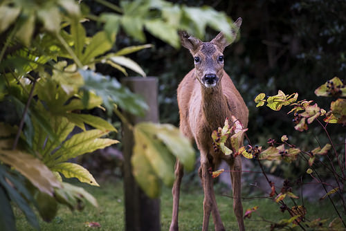 Esquimalt Residents Asked to Weight in on Deer
