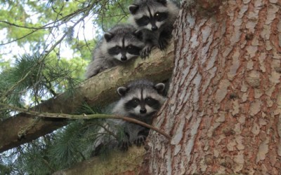 Compassionate conservation — yes even for rats and raccoons