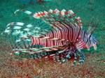 commonlionfish16