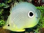 foureyebutterflyfish3