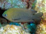 longfindamselfish1
