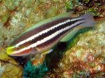 stripedparrotfish6