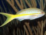 yellowtailsnapper5