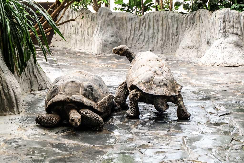 Зоопарк в Праге. Артонио и Эбергард - галапагосские черепахи.