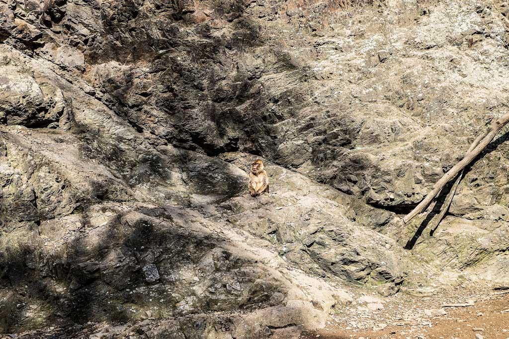 Пражский зоопарк. Берберская обезьяна.