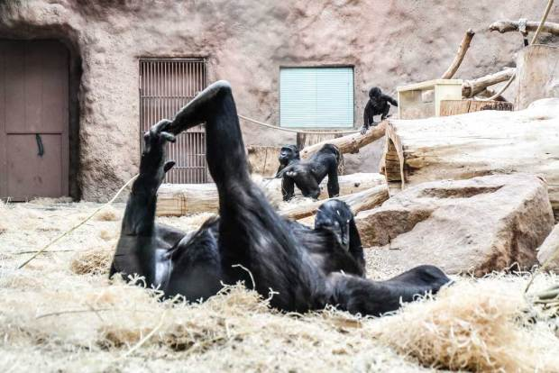 Пражский зоопарк. Гориллы