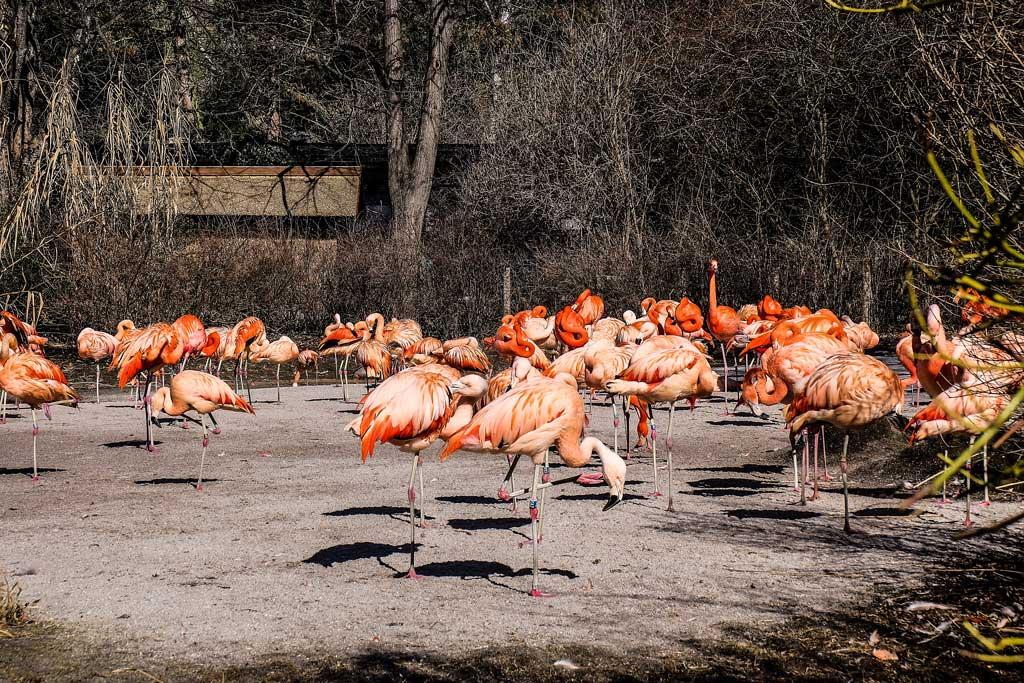 Красный фламинго. Пражский зоопарк