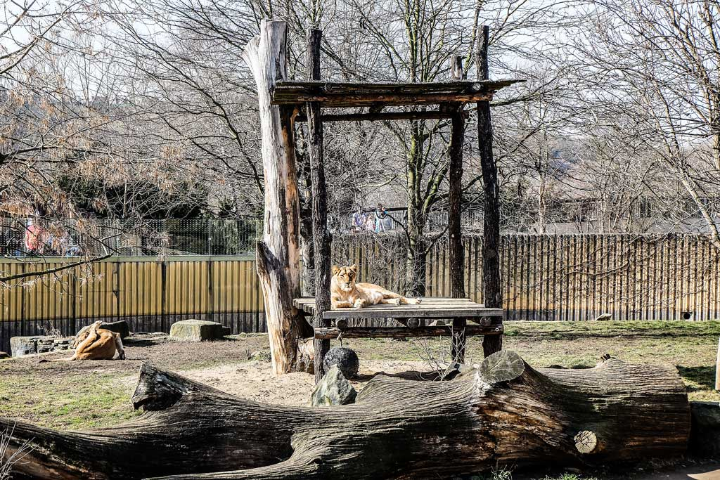 Пражский зоопарк. Лев