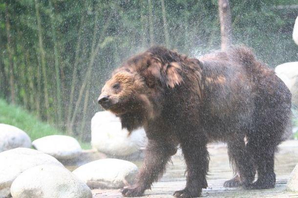 Много лет медведь был узником «стальной» рубашки. Вот что с ним случилось после освобождения…