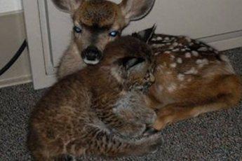 Мужчина спас из лесного пожара крошку рысь и олененка. Это изменило всю его жизнь!