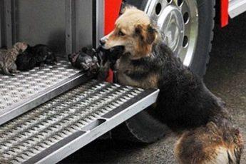 Собака по одному вынесла щенков из горящего дома и принесла их в пожарную машину