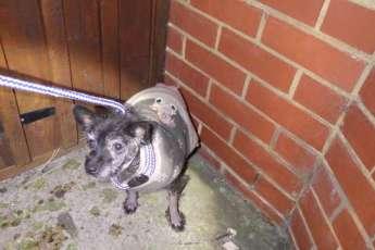 Пса в рождественском свитере нашли брошенным на Новый год
