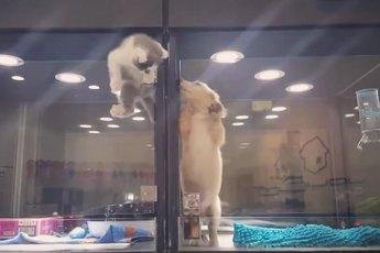 Котенок сбежал с витрины магазина, чтобы проведать своего одинокого друга щенка