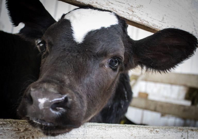 Есть ли у коровы зубы