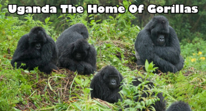 Uganda The Home Of Gorillas