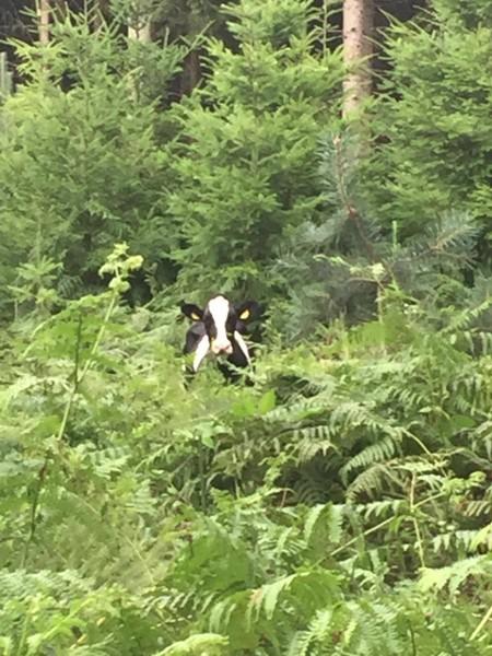 Sommermärchen für Kuh Elli darf nicht enden – Rettungsaktion