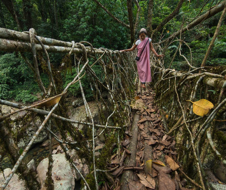 Live Bridge by Khasi tribe
