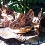 Butterfly dinner