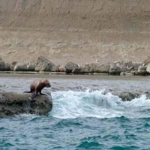 León marino en Pnínsula Valdés, Argentina