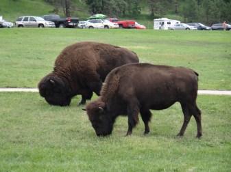 Buffalo near State Game Lodge.