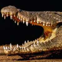 Nile Crocodiles In Florida, Eventually Sanibel?