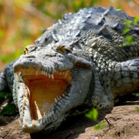 Sanibel Crocodiles: Crocodile Back On Sanibel