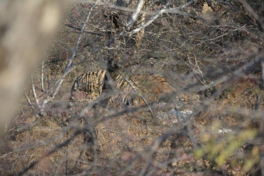 The king of Ranthambore ... tiger