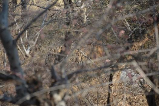 Tiger spotting at Ranthambore