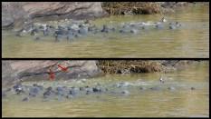 Catfish in a feeding frenzy ~ Berg River ~ Feb 2013