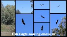 Fish Eagles ~ Berg River ~ Feb 2013