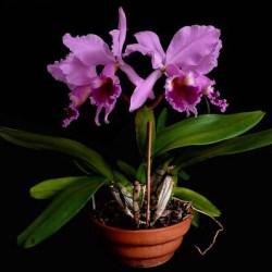 Brazil-National-Flower-Cattleya-Labiata_pot
