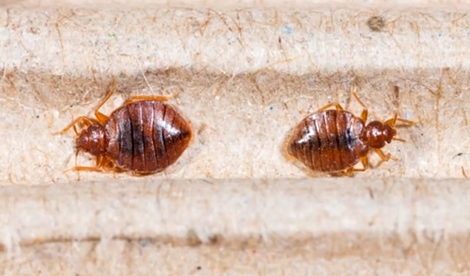 Can Bed Bugs Live in a Carpet