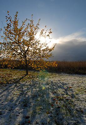 Snö under äppelträdet