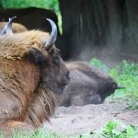 Białowieża et ses bisons