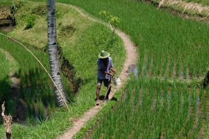 rizières de Tegallalang Ubud